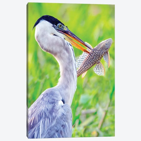 Portrait of cocoi heron with fish, Porto Jofre, Mato Grosso, Brazil Canvas Print #PIM15666} by Panoramic Images Canvas Art Print