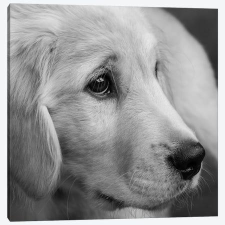 Portrait of Golden Retriever Puppy Canvas Print #PIM15668} by Panoramic Images Canvas Art