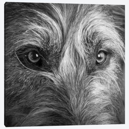 Portrait of Irish Wolf Hound Dog Canvas Print #PIM15669} by Panoramic Images Canvas Art