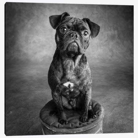 Portrait of Pug Bulldog Mix Dog Canvas Print #PIM15670} by Panoramic Images Art Print