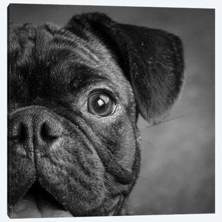 Portrait of Pug Bulldog Mix Dog Canvas Print #PIM15671} by Panoramic Images Canvas Art Print