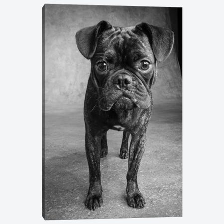 Portrait of Pug Bulldog Mix Dog Canvas Print #PIM15673} by Panoramic Images Canvas Print