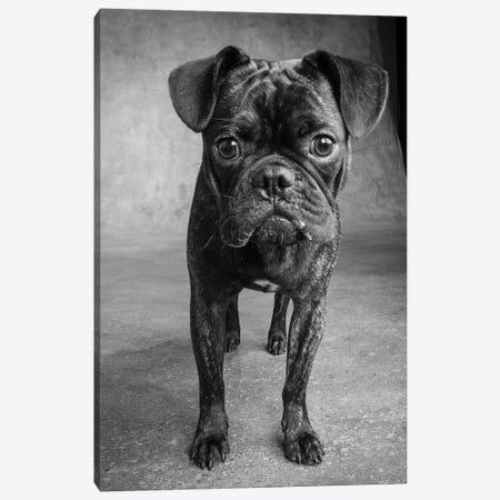 Portrait of Pug Bulldog Mix Dog Canvas Print #PIM15673} by Panoramic Images Canvas Print