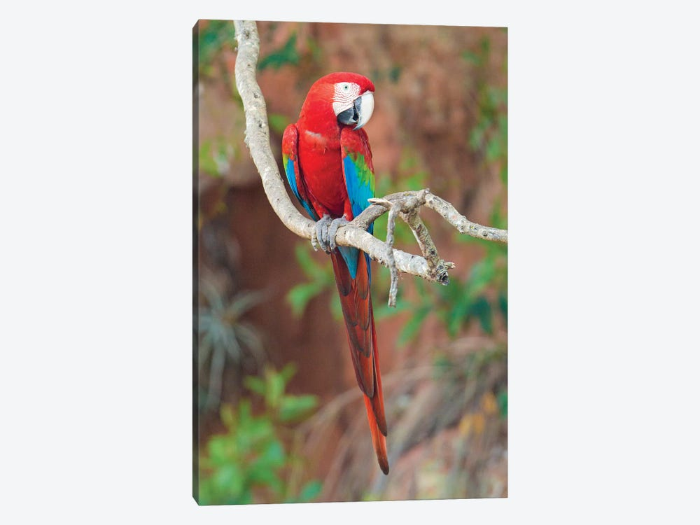 Red And Green Macaw, Porto Jofre, Mato Grosso, Pantanal, Brazil by Panoramic Images 1-piece Canvas Art