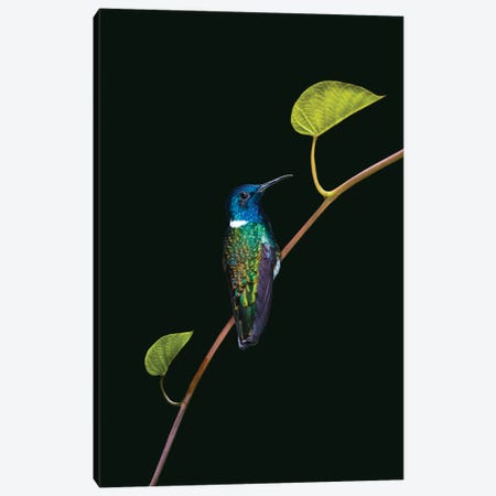 Portrait of white-necked jacobin  perching on branch, Sarapiqui, Costa Rica Canvas Print #PIM15679} by Panoramic Images Canvas Print