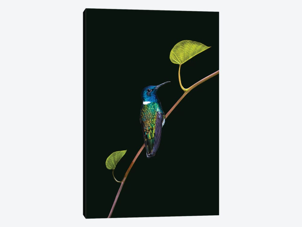 Portrait of white-necked jacobin  perching on branch, Sarapiqui, Costa Rica by Panoramic Images 1-piece Canvas Art