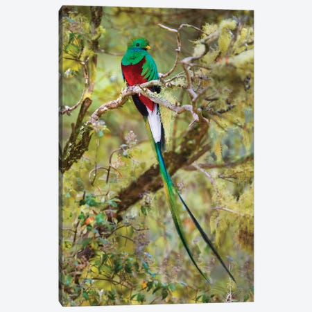 Resplendent quetzal  perching on branch, Talamanca Mountains, Costa Rica Canvas Print #PIM15688} by Panoramic Images Canvas Art