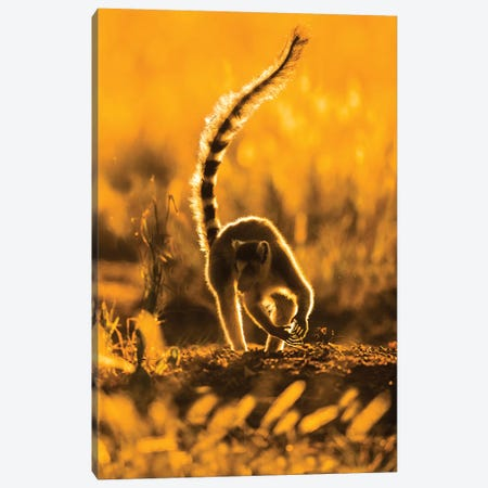 Ring-tailed lemur , Madagascar Canvas Print #PIM15690} by Panoramic Images Canvas Art Print