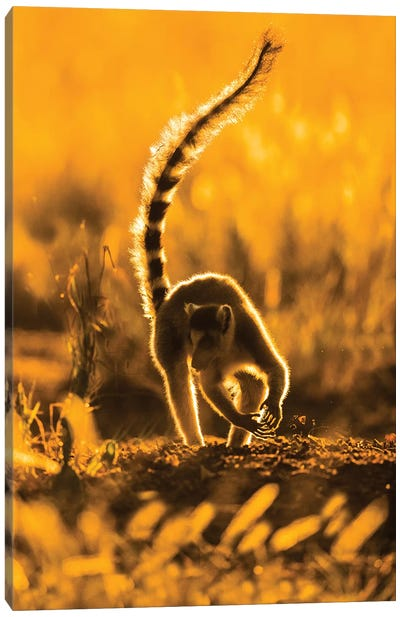 Ring-tailed lemur , Madagascar Canvas Art Print