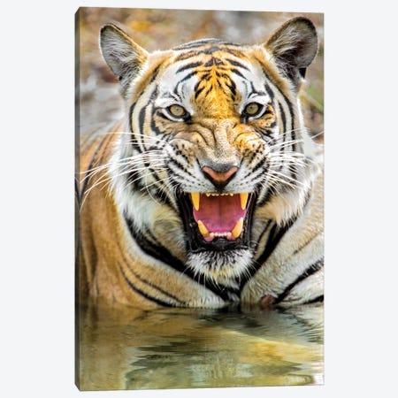 Roaring Bengal tiger, India Canvas Print #PIM15694} by Panoramic Images Canvas Artwork
