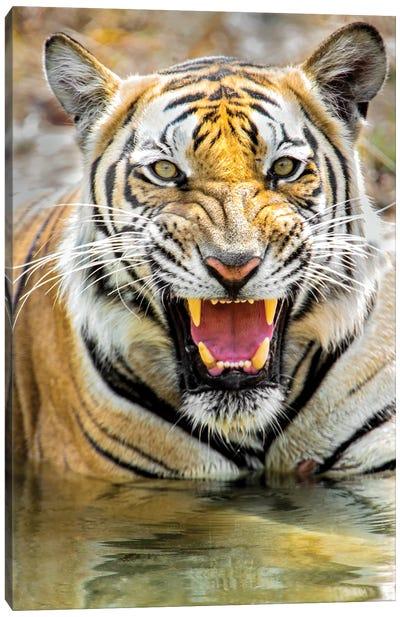Roaring Bengal tiger, India Canvas Art Print