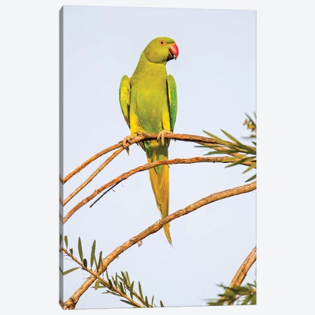Rose ringed parakeet  perching on branch, India Canvas Print #PIM15707} by Panoramic Images Canvas Artwork