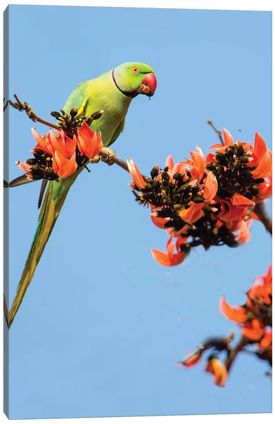 Rose-ringed parakeet  perching on branch, India Canvas Art Print