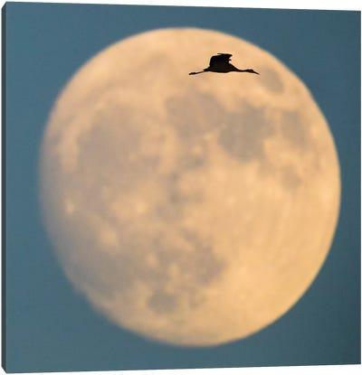 Sandhill crane  flying against moon, Soccoro, New Mexico, USA Canvas Art Print
