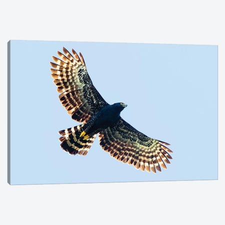 Sharp-shinned hawk  in flight, Sarapiqui, Costa Rica Canvas Print #PIM15737} by Panoramic Images Canvas Print