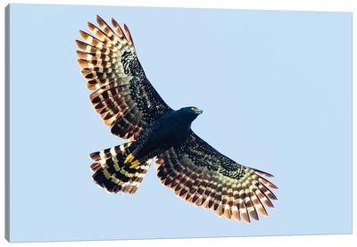 Sharp-shinned hawk  in flight, Sarapiqui, Costa Rica Canvas Art Print