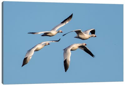 Snow geese  flying against clear sky, Soccoro, New Mexico, USA Canvas Art Print