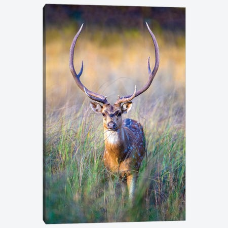 Spotted deer standing in tall grass, India Canvas Print #PIM15758} by Panoramic Images Canvas Artwork