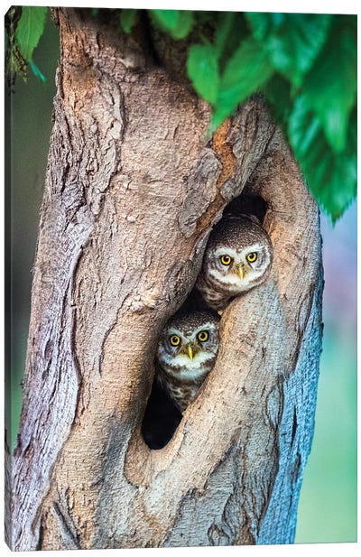 Spotted owlets  in tree hole, India Canvas Art Print