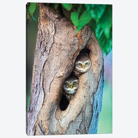 Spotted owlets  in tree hole, India Canvas Print #PIM15759} by Panoramic Images Canvas Art