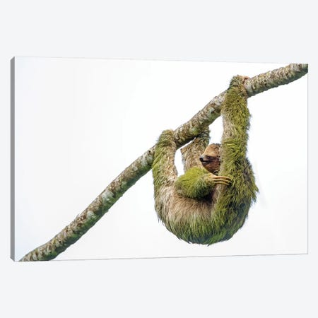 Three-toed sloth hanging from branch, Sarapiqui, Costa Rica Canvas Print #PIM15792} by Panoramic Images Canvas Wall Art