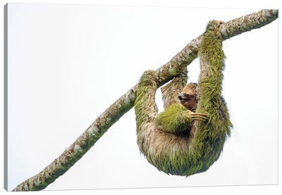 Three-toed sloth hanging from branch, Sarapiqui, Costa Rica Canvas Art Print