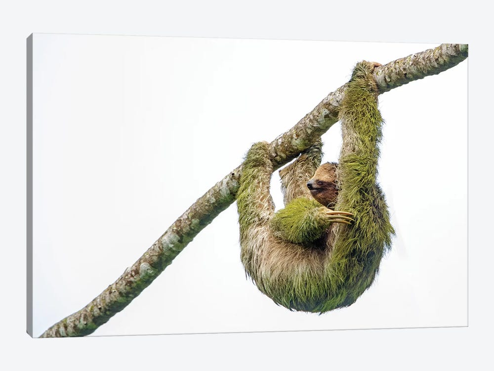 Three-toed sloth hanging from branch, Sarapiqui, Costa Rica by Panoramic Images 1-piece Canvas Artwork