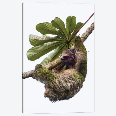 Three-toed sloth hanging from tree, Sarapiqui, Costa Rica Canvas Print #PIM15793} by Panoramic Images Canvas Artwork