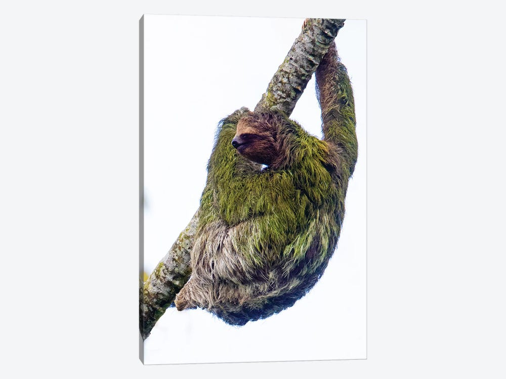 Three-toed sloth on tree branch, Sarapiqui, Costa Rica by Panoramic Images 1-piece Canvas Wall Art