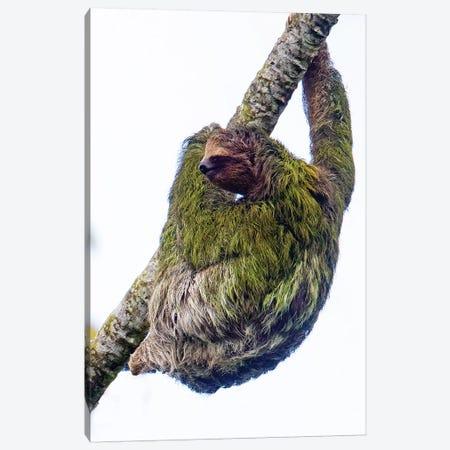 Three-toed sloth on tree branch, Sarapiqui, Costa Rica Canvas Print #PIM15794} by Panoramic Images Canvas Art Print