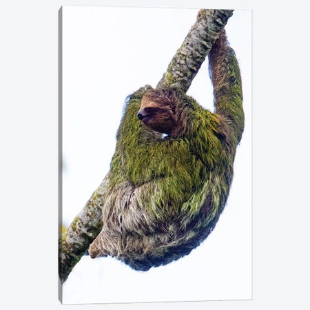 Three-toed sloth on tree branch, Sarapiqui, Costa Rica Canvas Print #PIM15794} by Panoramic Images Canvas Art Print