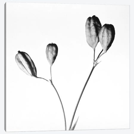 Twig with seed pods 3-Piece Canvas #PIM15805} by Panoramic Images Canvas Print