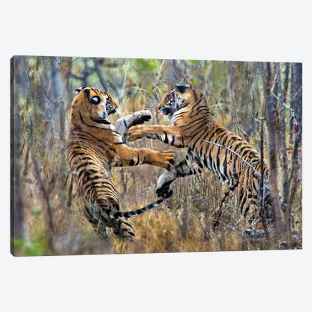 Two fighting Bengal tigers, India Canvas Print #PIM15808} by Panoramic Images Canvas Artwork