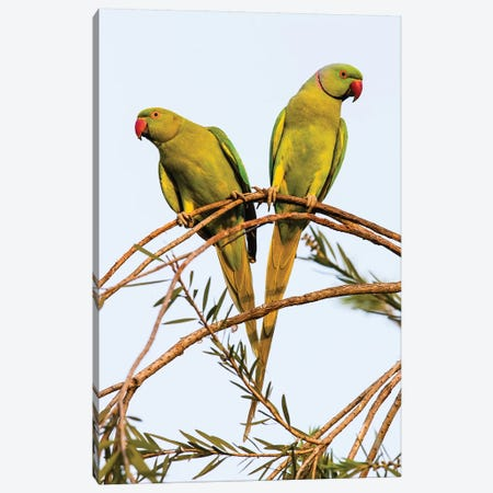Two rose ringed parakeets  perching on branch, India Canvas Print #PIM15813} by Panoramic Images Canvas Print