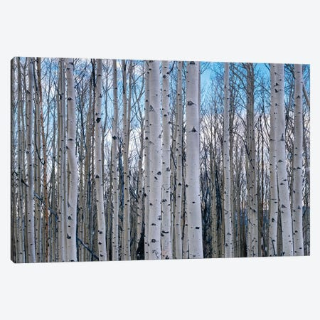 View of Aspen trees in a forest, Cedar Breaks National Monument, Utah, USA Canvas Print #PIM15819} by Panoramic Images Canvas Print