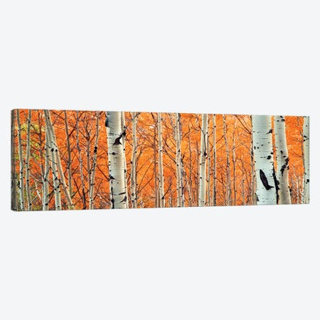 View of Aspen trees, Granite Canyon, Grand Teton National Park, Wyoming, USA, Canvas Print #PIM15820} by Panoramic Images Canvas Wall Art