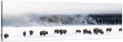 View of Bison herd  Fountain Flats, Yellowstone National Park, Wyoming, USA Canvas Art Print