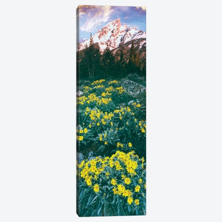 View of blossoming Balsamroot, Mount Teewinot, Grand Teton National Park, Wyoming, USA Canvas Print #PIM15822} by Panoramic Images Canvas Wall Art