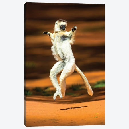 View of jumping verreaux's sifaka, Madagascar Canvas Print #PIM15837} by Panoramic Images Canvas Wall Art