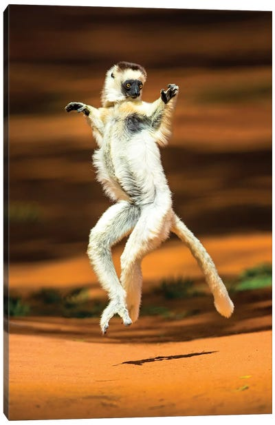 View of jumping verreaux's sifaka, Madagascar Canvas Art Print