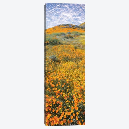 View of poppies on hilly terrain, Temescal Mountains, Riverside County, California, USA Canvas Print #PIM15842} by Panoramic Images Canvas Artwork