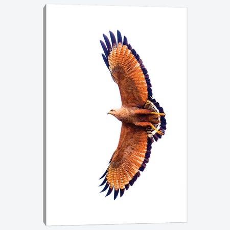 A Flying Savannah Hawk, Porto Jofre, Mato Grosso, Pantanal, Brazil Canvas Print #PIM15844} by Panoramic Images Art Print