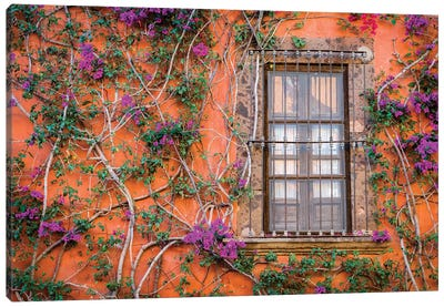 View of wall and window covered by Bougainvillea, San Miguel de Allende, Mexico Canvas Art Print