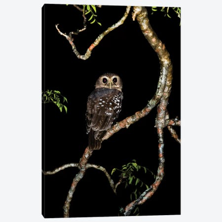 White-browed owl or Madagascar hawk-owl on tree branch, Madagascar Canvas Print #PIM15877} by Panoramic Images Canvas Wall Art