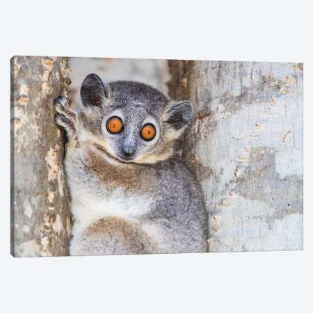 White-footed sportive lemur , Madagascar Canvas Print #PIM15879} by Panoramic Images Canvas Art Print