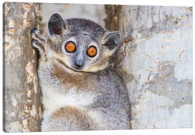 White-footed sportive lemur , Madagascar Canvas Art Print