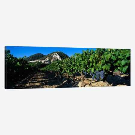Vineyard Harvest, Seguret, Cotes du Rhone, Provence-Alpes-Cote d'Azur, France Canvas Print #PIM1590} by Panoramic Images Canvas Print