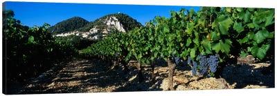 Vineyard Harvest, Seguret, Cotes du Rhone, Provence-Alpes-Cote d'Azur, France Canvas Print #PIM1590