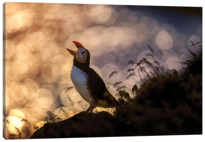 Atlantic Puffin, Iceland Canvas Art Print