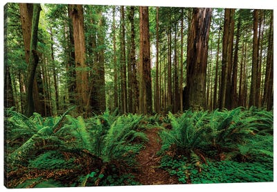 Avenue Of Giants And Giant Redwood Forest Along Route 101, California, USA Canvas Art Print